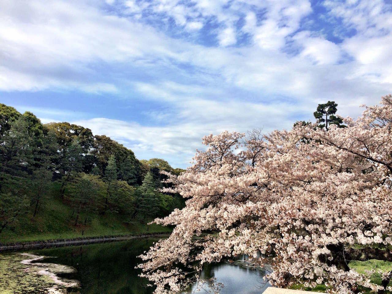 Kirschblüten in Tokio Annaway Travelblog 1oop
