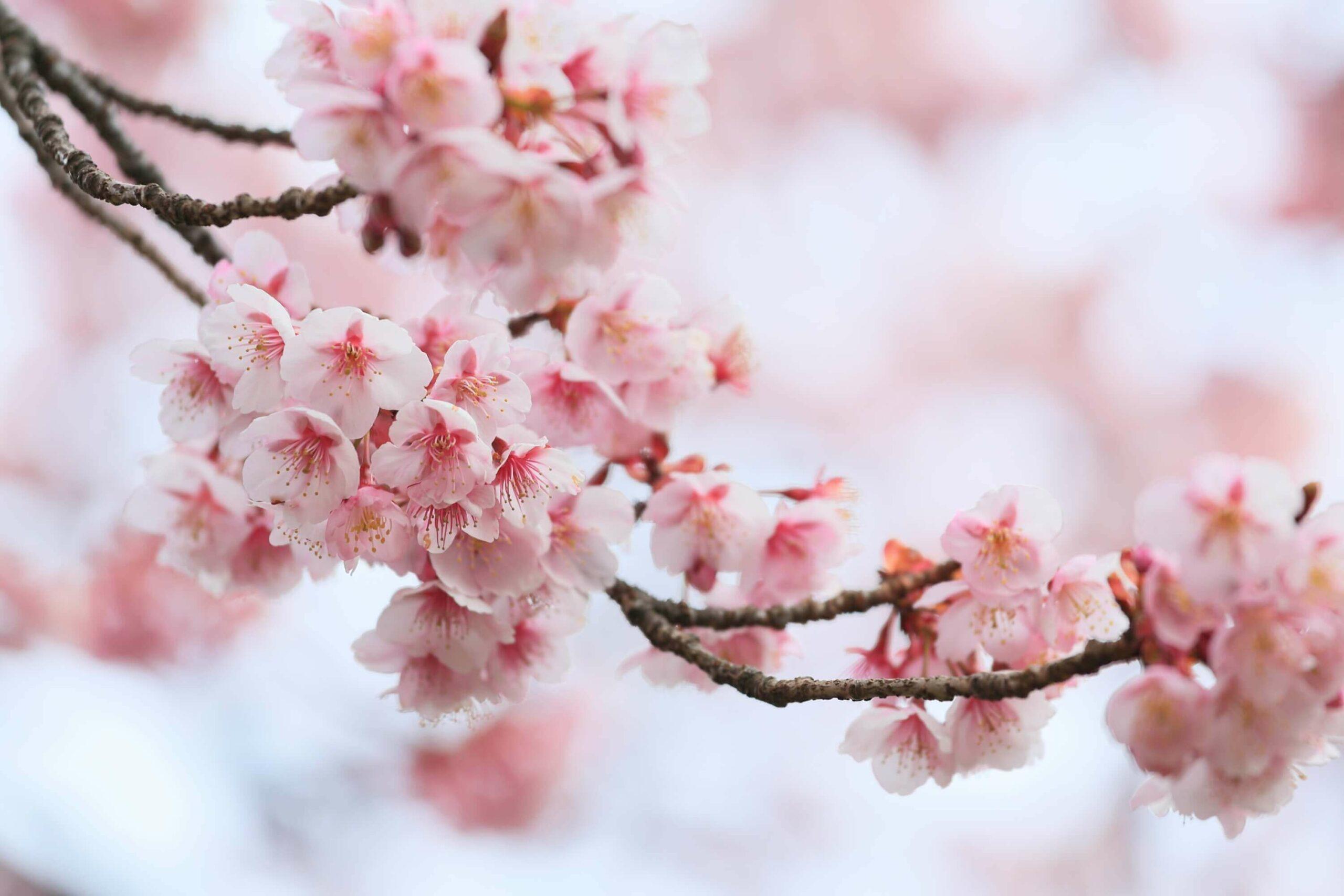 Kirschblüten in Tokio Annaway Travelblog 2