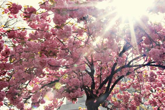 Kirschblüten in Tokio Annaway Travelblog 3