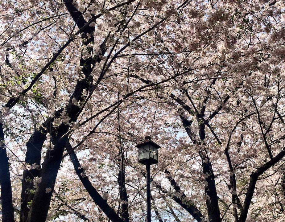 Kirschblüten in Tokio Annaway Travelblog 39