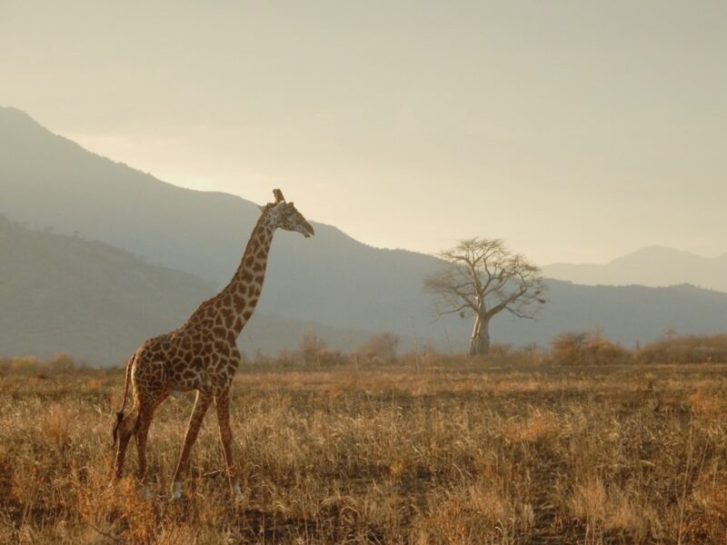 Tansania Giraffe Safari