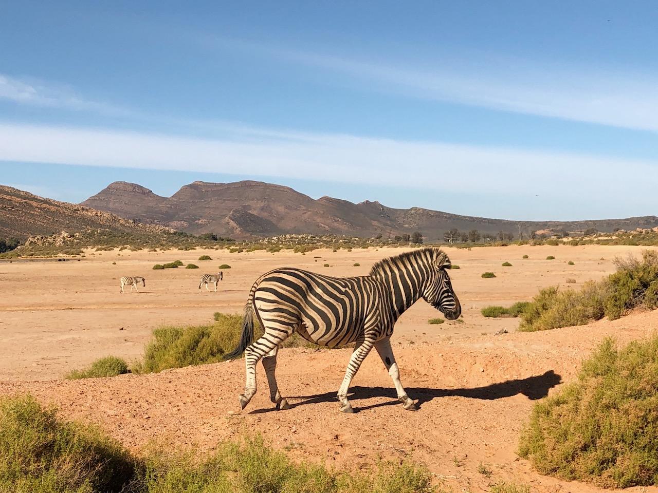 Zebra Safari Tansania Game Drive