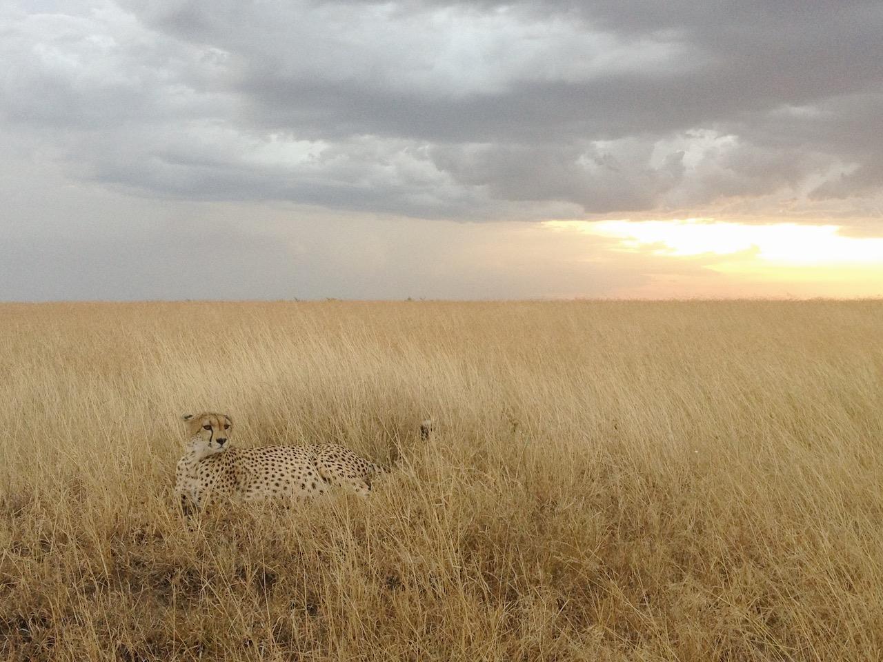 Gepard Shita Safari Sansibar Game Drive